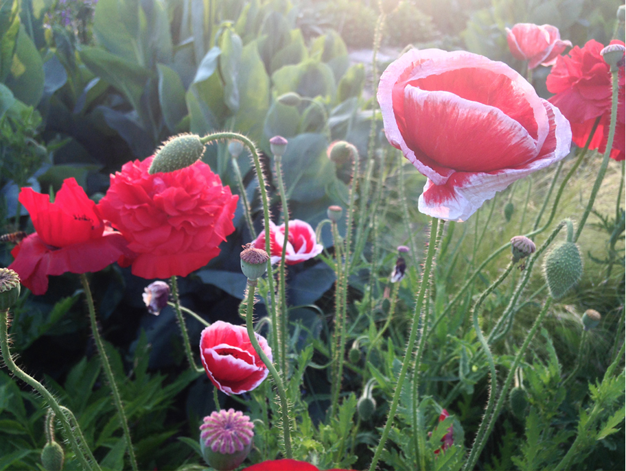 Poppies in summer.