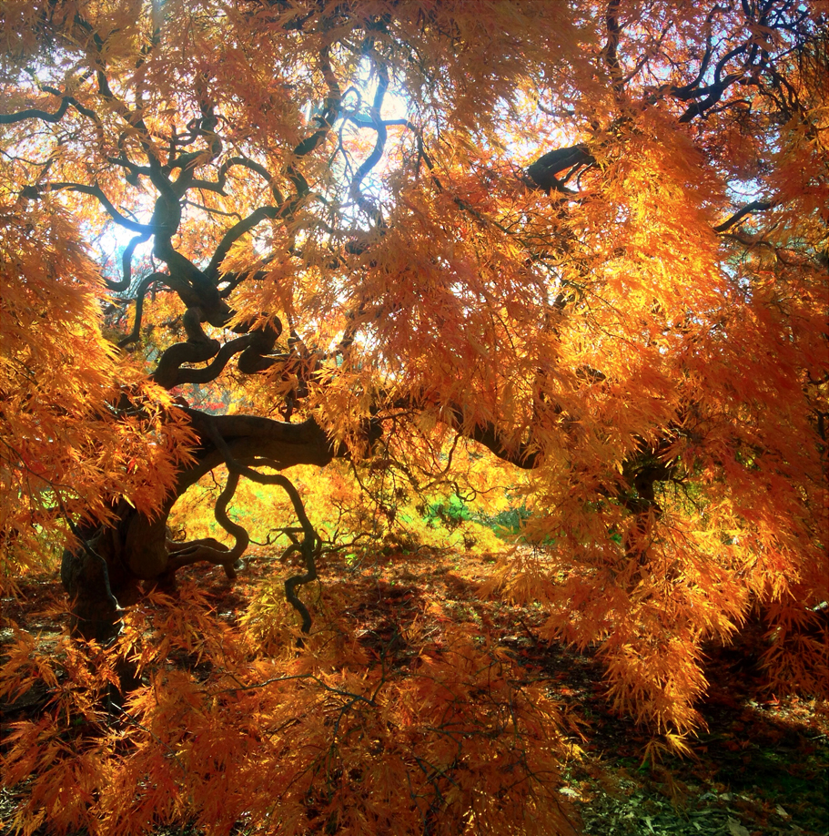 Japanese Maple in gold