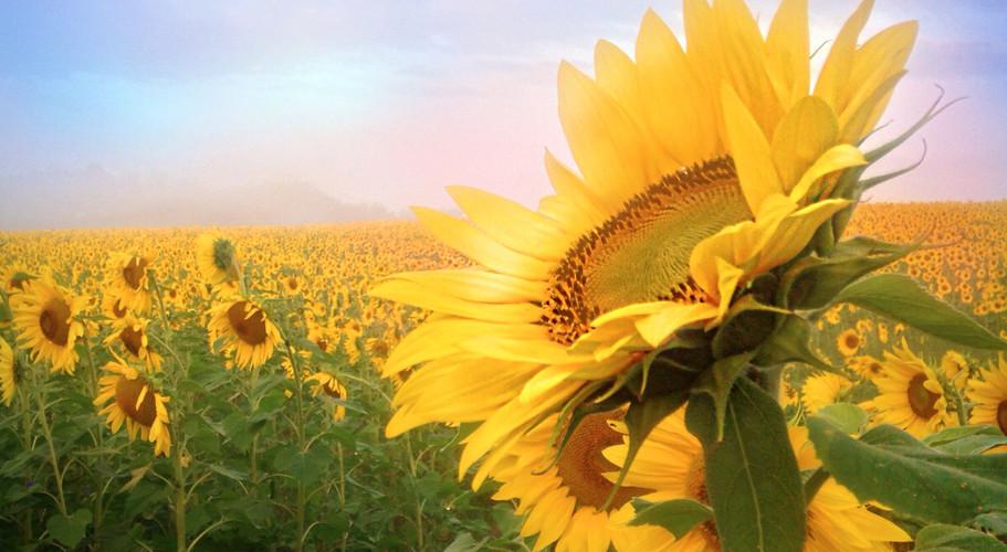 Sunflower zen 45 minutes from Baltimore